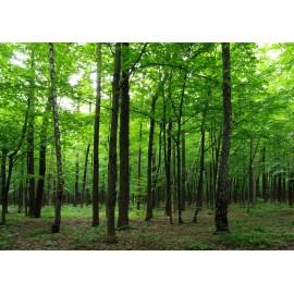 Fototapet peisaje Forest