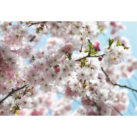 Fototapet Flori de cires Hanami