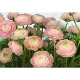 Fototapet Bujori roz
