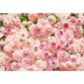 Fototapet Trandafiri roz