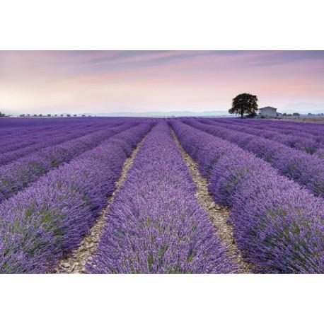 Fototapet Lavanda Provence