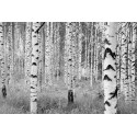 Fototapet Padure de mesteceni alb-negru