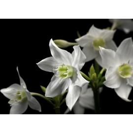 Fototapet floral - Crini de Amazon